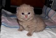 Чистокровные британские котята с документами