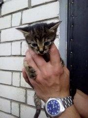 Котёнок,  девочка,  1, 5 месяца