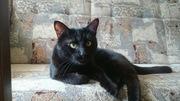 Красивый черный кот в дар!