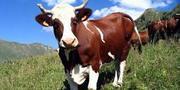 Куплю крупно-рогатый скот