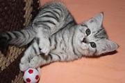 Шотландский короткошерстный котик скоттиш-страйт,  возраст – 2 мес