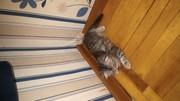 Шотландские котята от отличных родителей