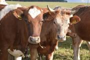 Куплю быков,  коров,  лошадей. У населения и организаций. Дорого.