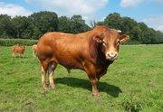 Куплю быков живым весом в Могилевской области