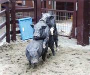 вьетнамские свиньи и поросята